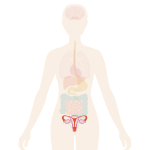 Image of body with reproductive system highlighted