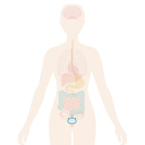 Image of body with the bladder highlighted