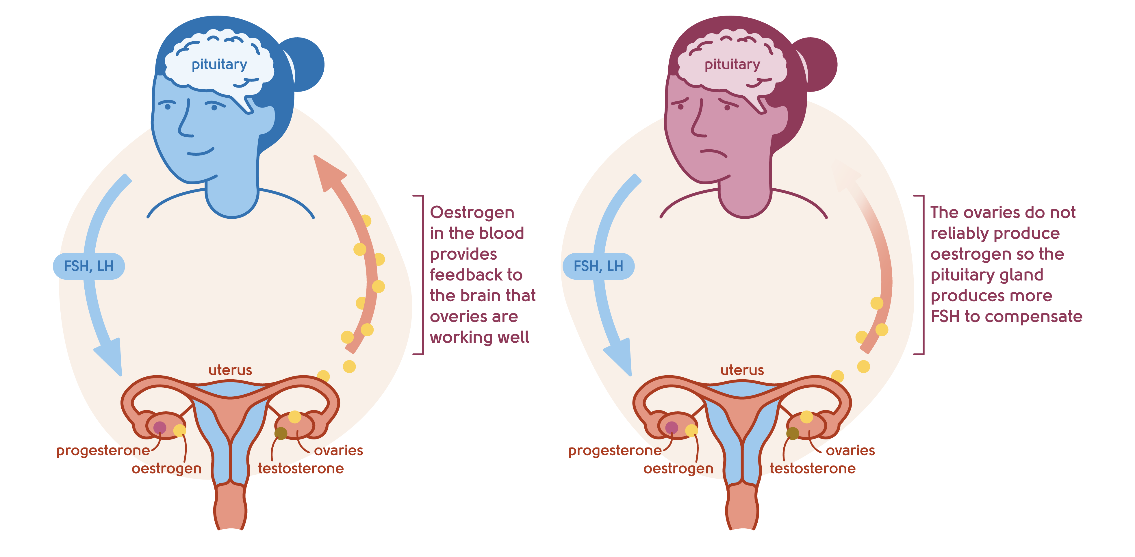 Illustration to show the feedback mechanism of the ovaries and the brain